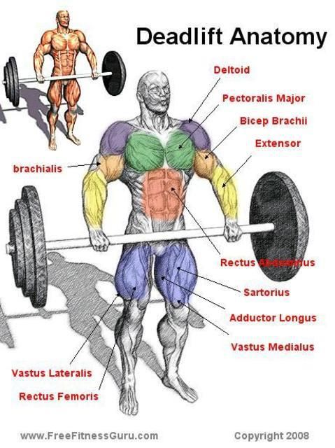 Gallery For > Deadlift Muscles Worked