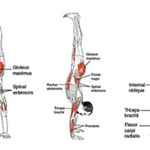 handstandmuscles
